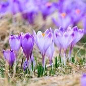 Blooming violet crocuses, spring flower — Stock Photo