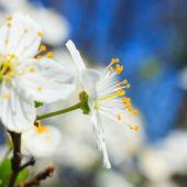 белые blossoms весной — Стоковое фото