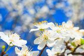 White blossoms in spring  — Stock Photo