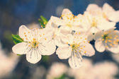 Vintage white blossoms in spring — Stock Photo