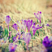 Vintage blooming violet crocuses, spring flower — Stock Photo