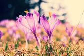Ročník kvete fialovými krokusy, jarní květ — Stock fotografie