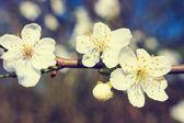 Vintage white blossoms in spring — Stockfoto