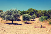 Olive trees under bright sunlight — Stock Photo