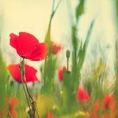 Vintage field of poppies  — Fotografia Stock