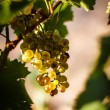 Постер, плакат: Large bunche of white wine grapes hang from a vine Ripe grapes