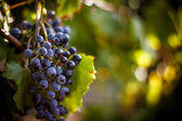 Large bunche of red wine grapes hang from a vine. Ripe grapas — Foto de Stock