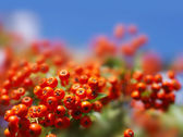 Autumn berries on a background of blue sky — Stock Photo