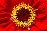 Red flower close-up — Stock Photo