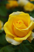 Yellow rose in a garden — Stock Photo