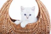 Ragdoll kitten in bell basket — Stock Photo