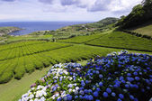 The tea plantation. Sao Miguel. Azores — Stock Photo