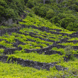 Stock Photo: Pico - vineyards and little basalt walls, Azores