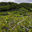 Pico - vineyards and little basalt walls, Azores — Stockfoto