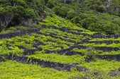 Pico - vineyards and little basalt walls, Azores — Stock Photo