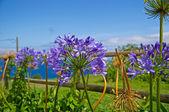 Hydrangeas on the background of the ocean — Stock Photo