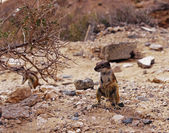 Barbary Ground Squirrel, Fuerteventura — Zdjęcie stockowe