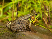 Northern leopard frog — Stock Photo