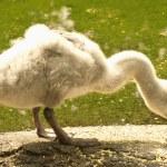 Baby swan — Stock Photo #12470410