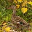 Female mallard duck, anas platyrhynchos — Stock Photo