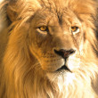 African lion portrait, panthera leo — Stock Photo