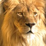 African lion portrait, panthera leo — Stock Photo