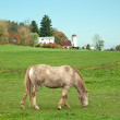Stock Photo: Horse grazing in field