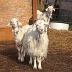 Постер, плакат: Three curious goats