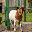 Goat on a porch — Stock Photo