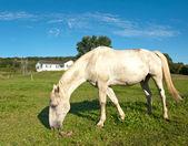 White horse grazing — Stock Photo