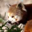 Stock Photo: Red panda, Ailurus fulgens