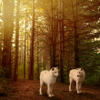 Wolves in woods — 图库照片