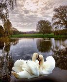 Swan scenic — Stock Photo