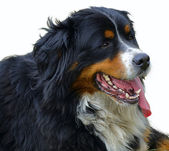 Bernese mountain dog — Foto de Stock