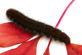 Caterpillar on red leaf — Stock Photo