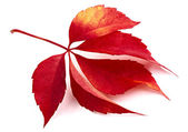 Fallen leaf red — Stock Photo