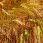 Gold rye field — Stock Photo #14710187