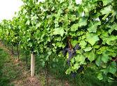 Vineyard - 2 — Stock Photo