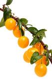 Cherry plum twig — Stock Photo