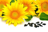 Bright yellow sunflowers and sunflower seeds — Fotografia Stock