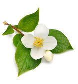 Jasmine flower — Stock Photo