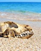 Dog skull on the beach against blue sky — Stock Photo