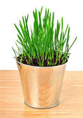 Green wheat grass in the aluminum pot — Stock Photo