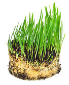 Green wheat grass with roots  — Stock Photo