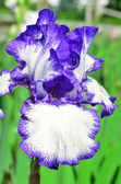 Violet iris flower — Stock Photo