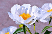 Blooming white peony flowers in the garden — Stock Photo