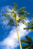 Caesalpinia pulcherrima flava. — Stock Photo