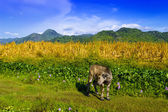Calf Against Background of the Pinatubo Volcano. — Stock Photo
