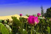 Fiore di loto rosa in mezzo a dune di sabbia bianca. — Foto Stock