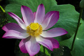 Tripped Pink Lotus in White Lake. — Stock Photo